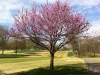 Course Redbud Tree