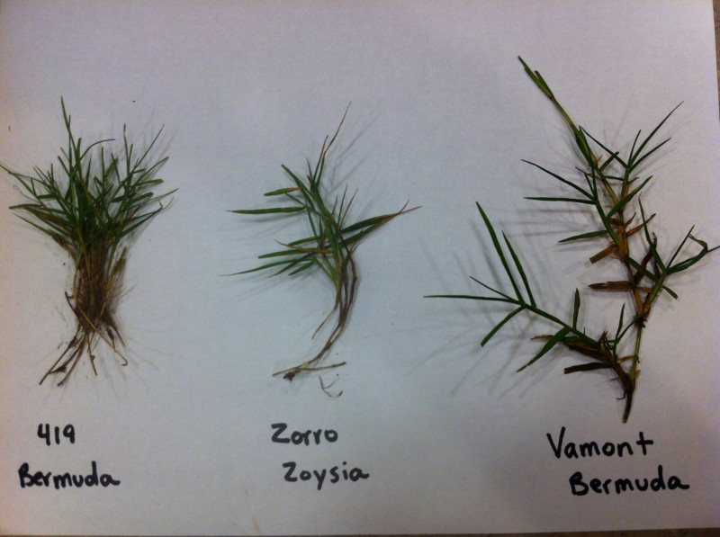 Warm Season Grass Comparison